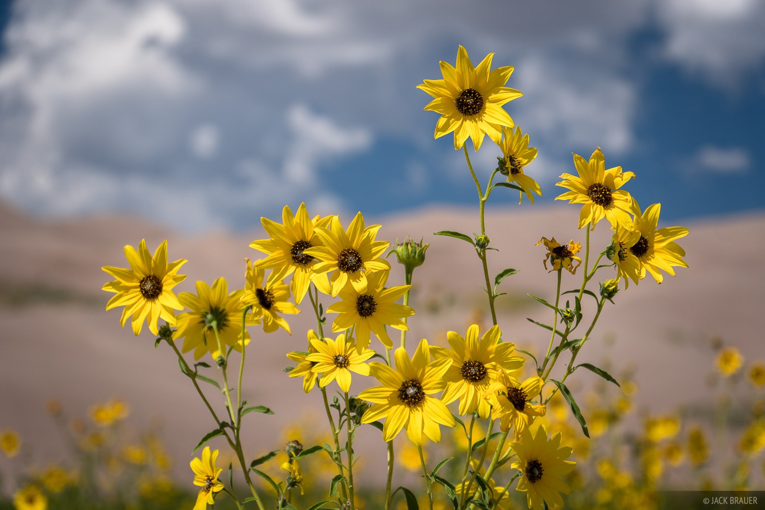 Colorado, Great Sand Dunes, wildflowers, sunflowers, photo