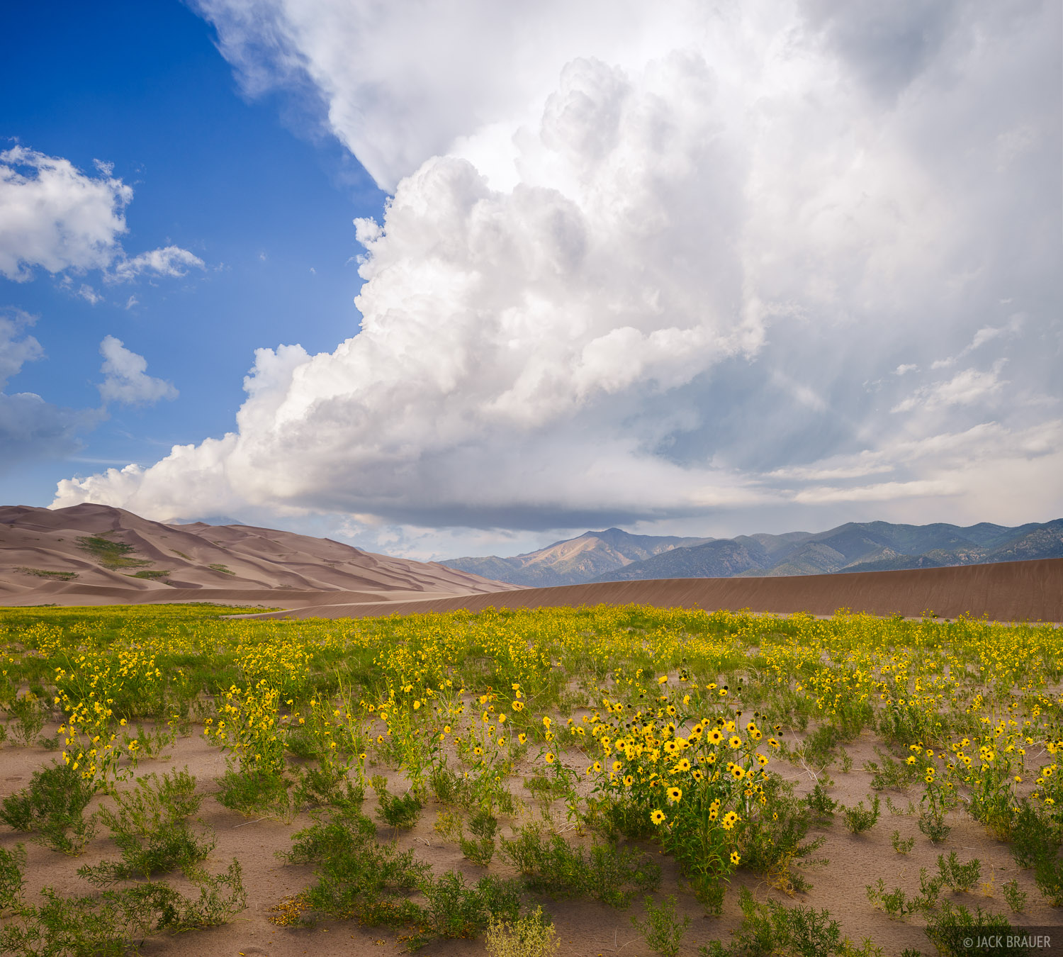 Praire sunflowers in the Great Sand Dunes, with a massive thundercloud towering beyond.