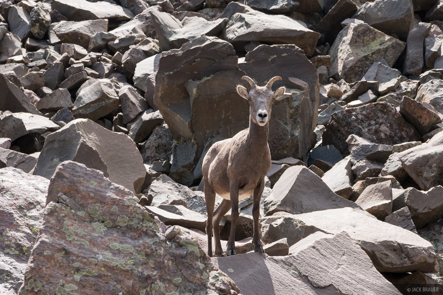 A bighorn sheep ewe in the Sangre de Cristos.