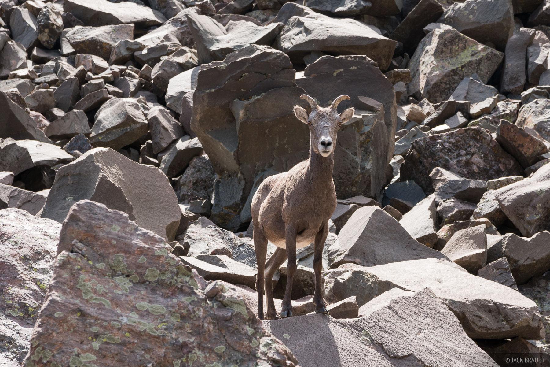 Colorado, Sangre de Cristos, bighorn sheep, Sangre de Cristo Wilderness, photo