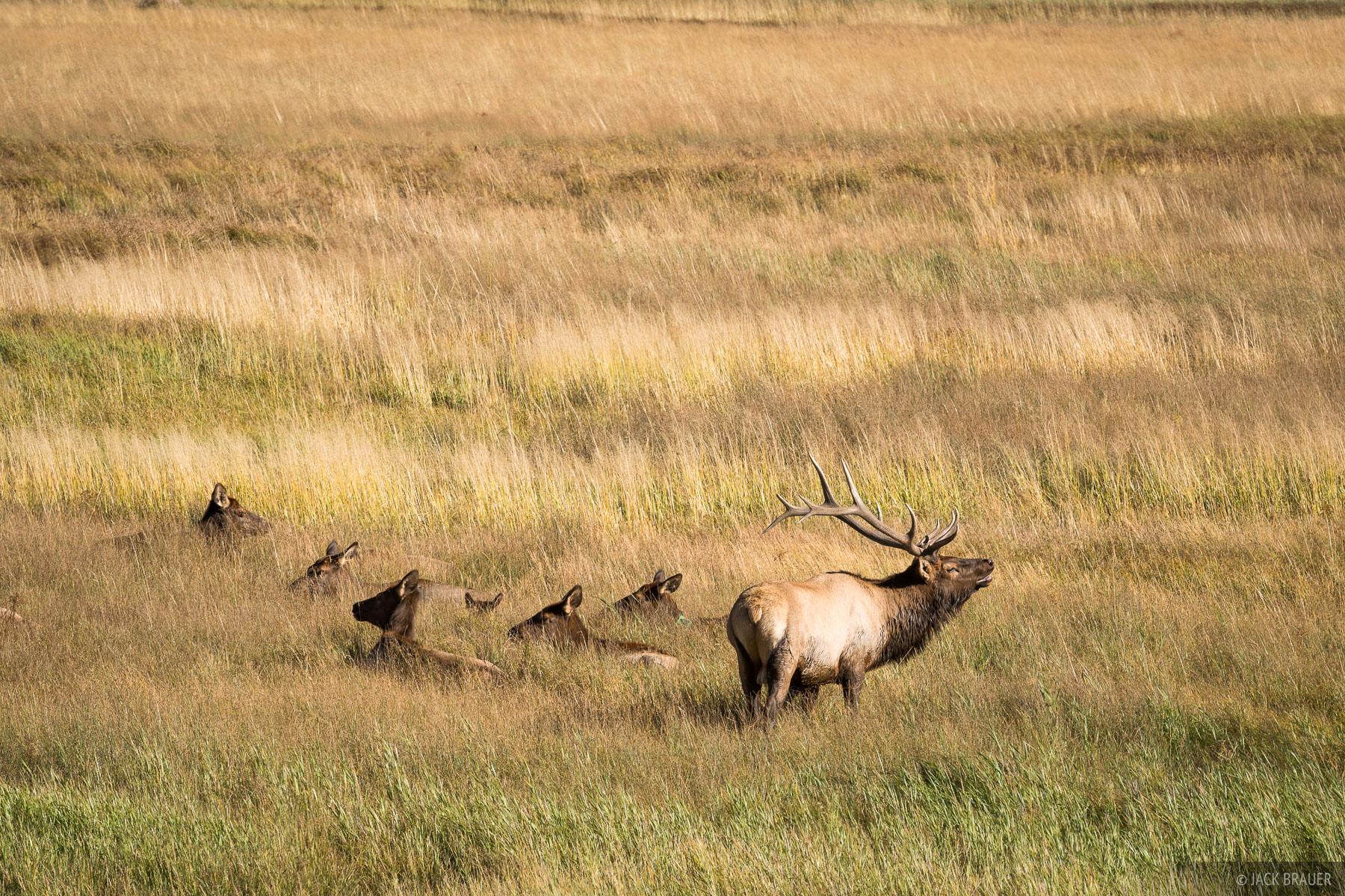 Colorado, Rocky Mountain National Park, elk, Moraine Park, photo
