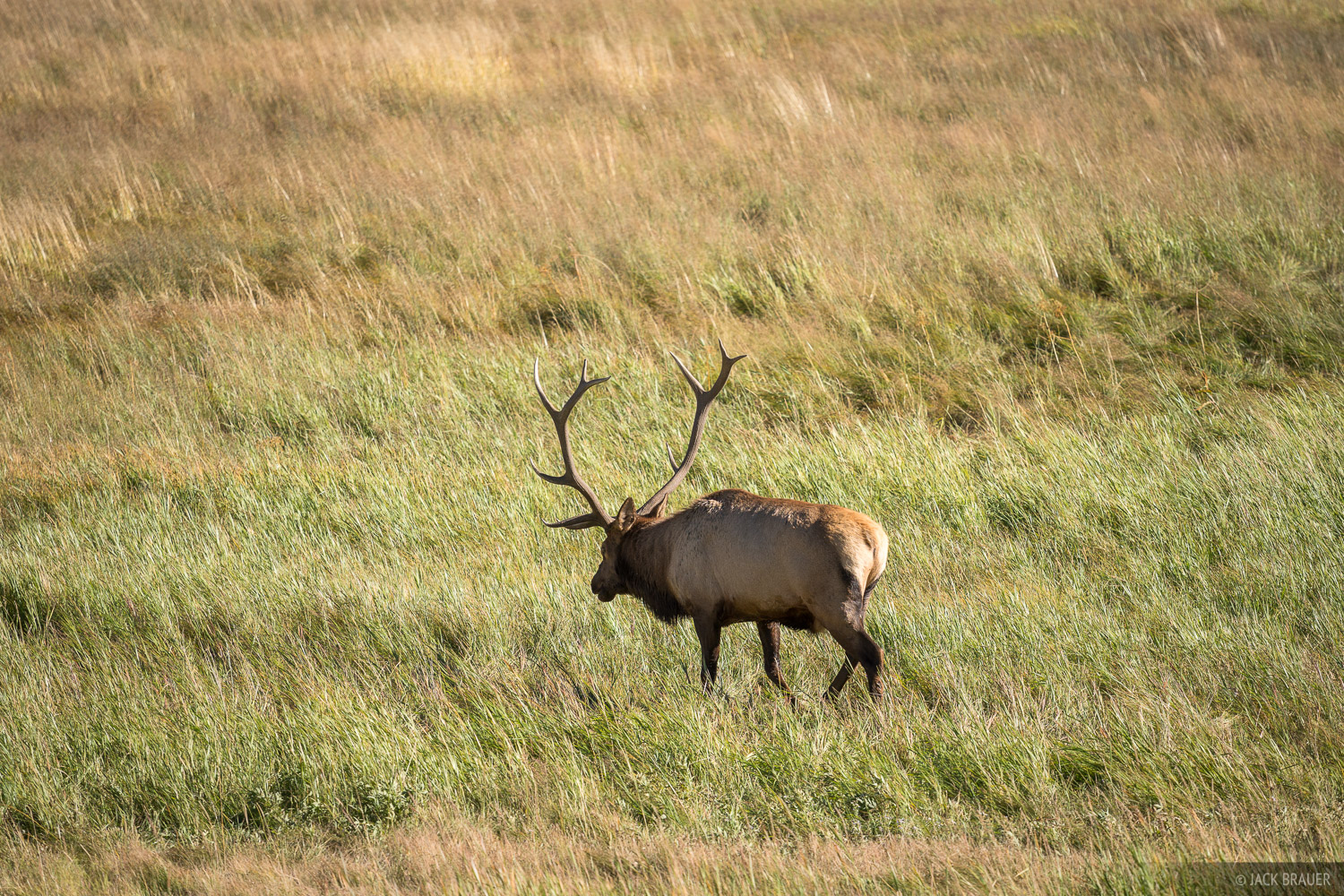 Colorado, Rocky Mountain National Park, elk, Moraine Park, photo