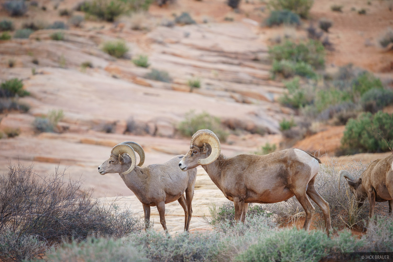 Bighorn sheep in the Valley of Fire.
