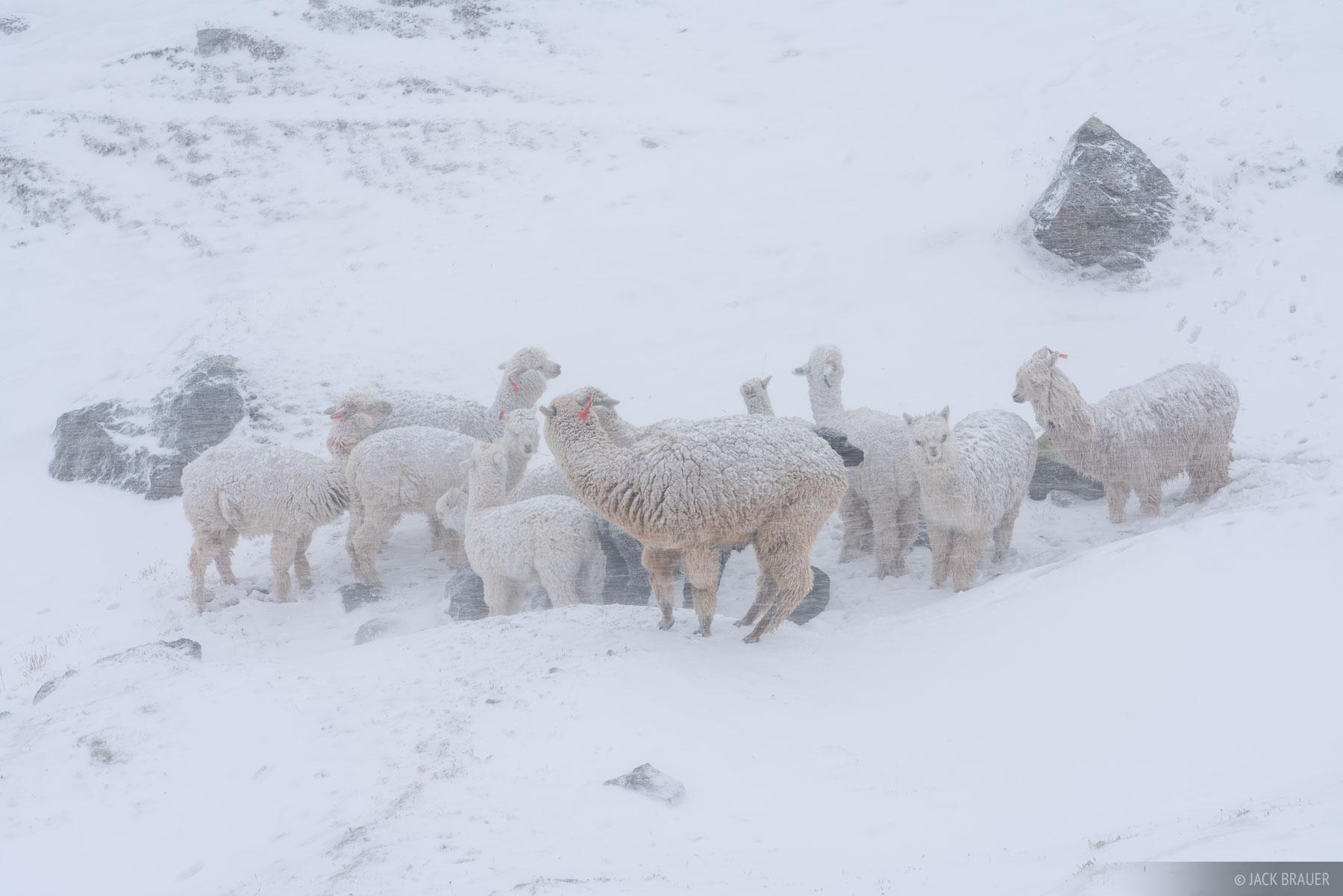 Abra Apacheta, Ausangate, Cordillera Vilcanota, Peru, South America, alpaca, photo