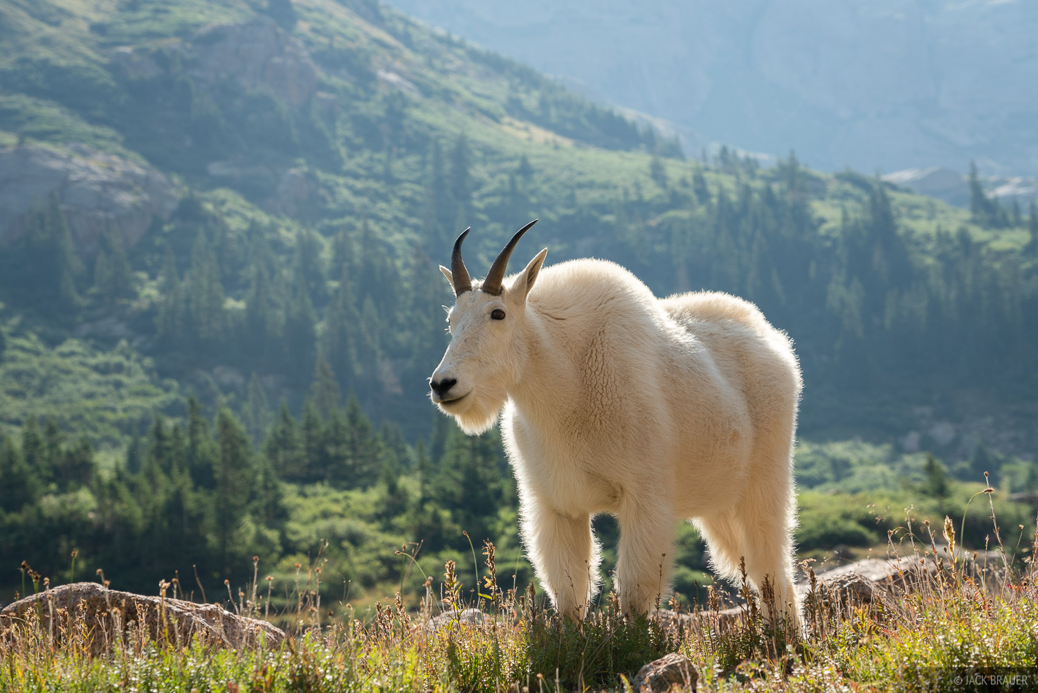 Colorado, Needle Mountains, San Juan Mountains, Weminuche Wilderness, mountain goat, photo