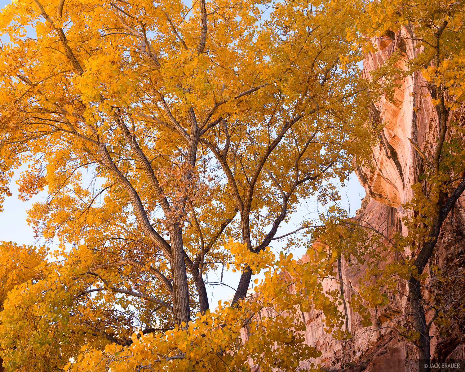 Glowing canyon cottonwood.