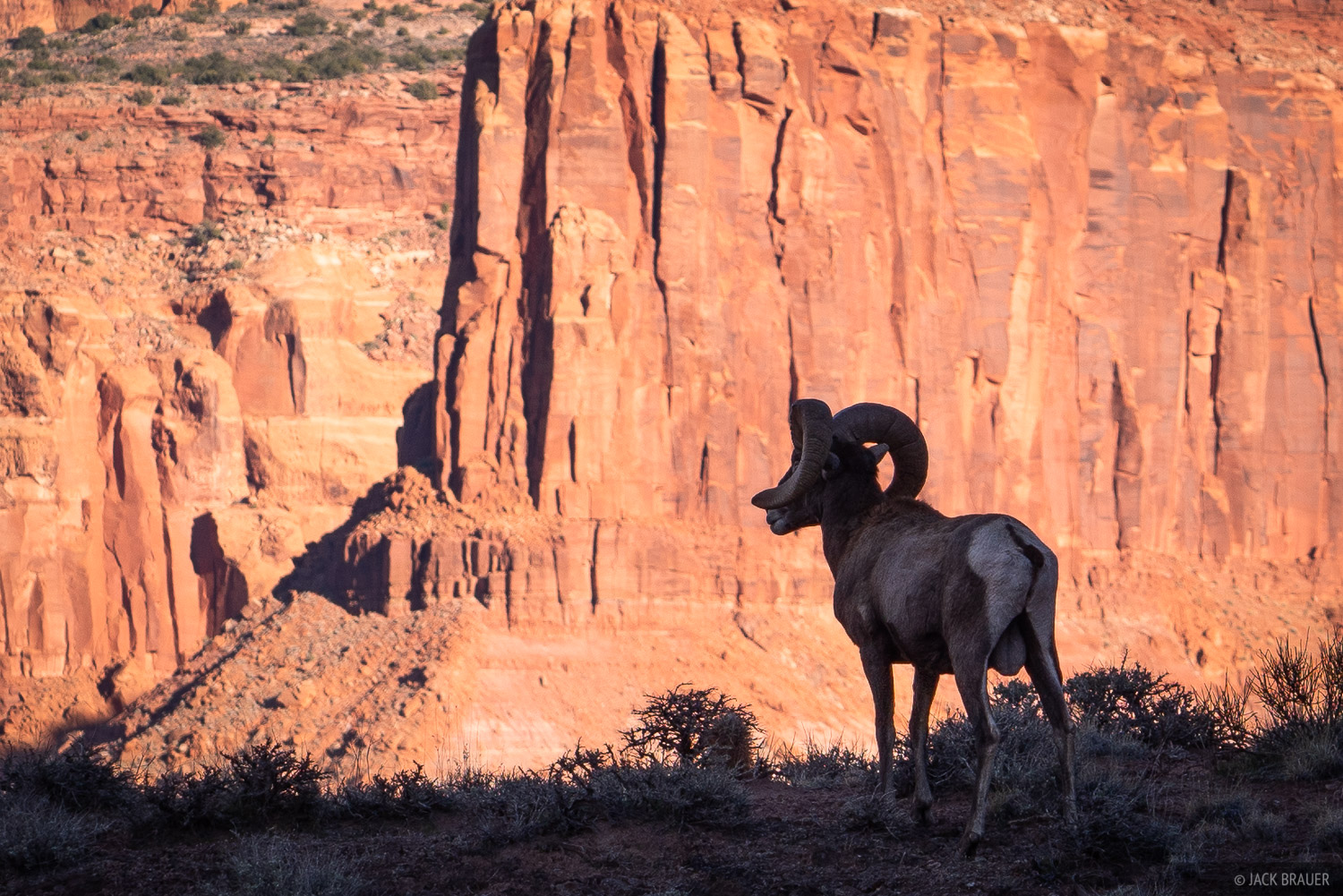 A bighorn sheep surveys the view in red rock country.