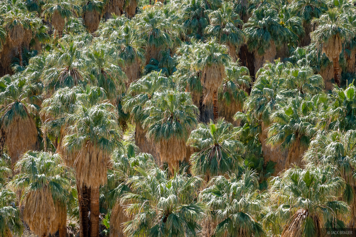 Native palms in Indian Canyon near Palm Springs, California.