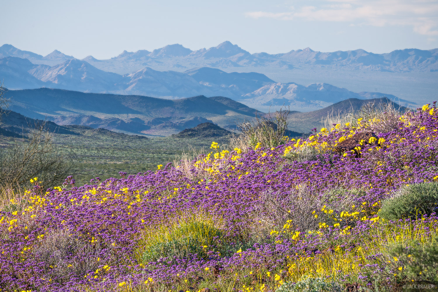 Wildflowers in the Mojave Desert.