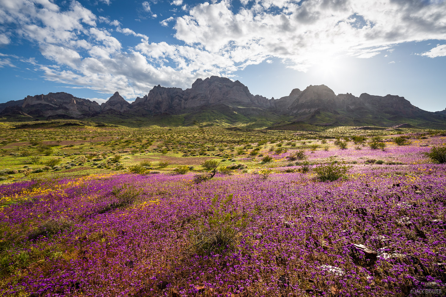 Wildflower superbloom in the Turtle Mountains of California after an exceptionally rainy winter in the Mojave Desert.