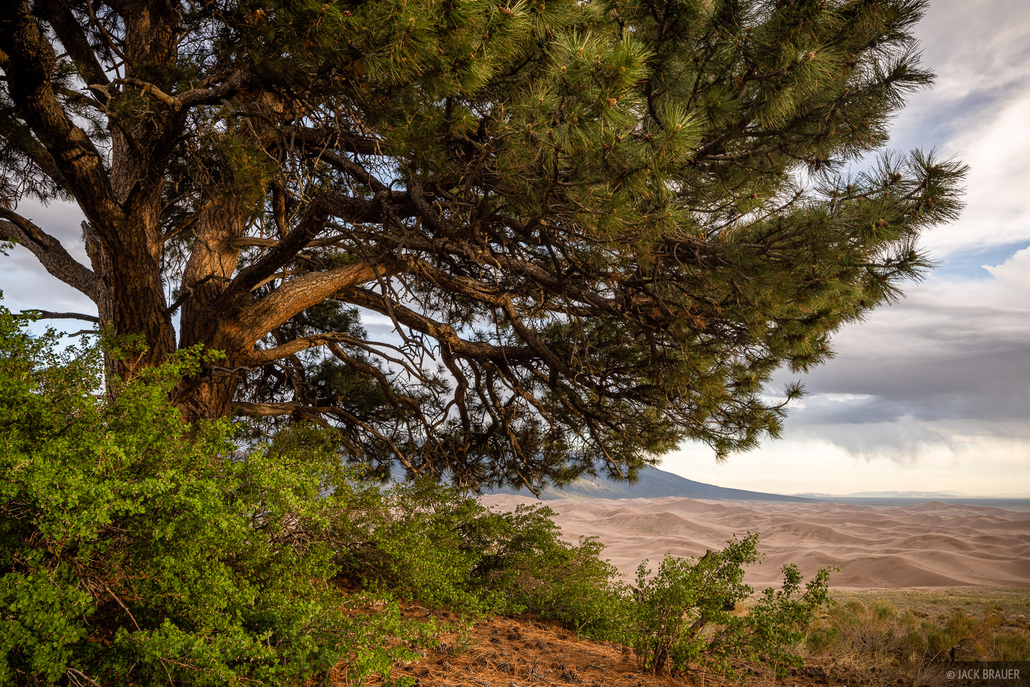 Colorado, Great Sand Dunes, ponderosa pine, photo