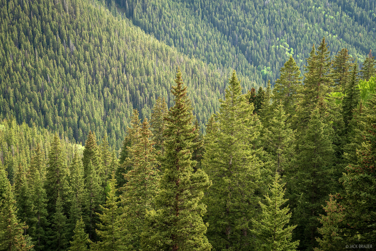 Healthy pine forest in the mountains near Ouray, Colorado.
