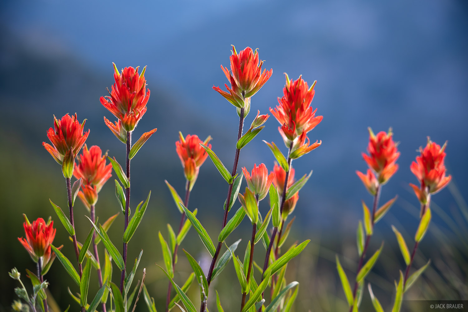 Colorado, San Juan Mountains, wildflowers, photo