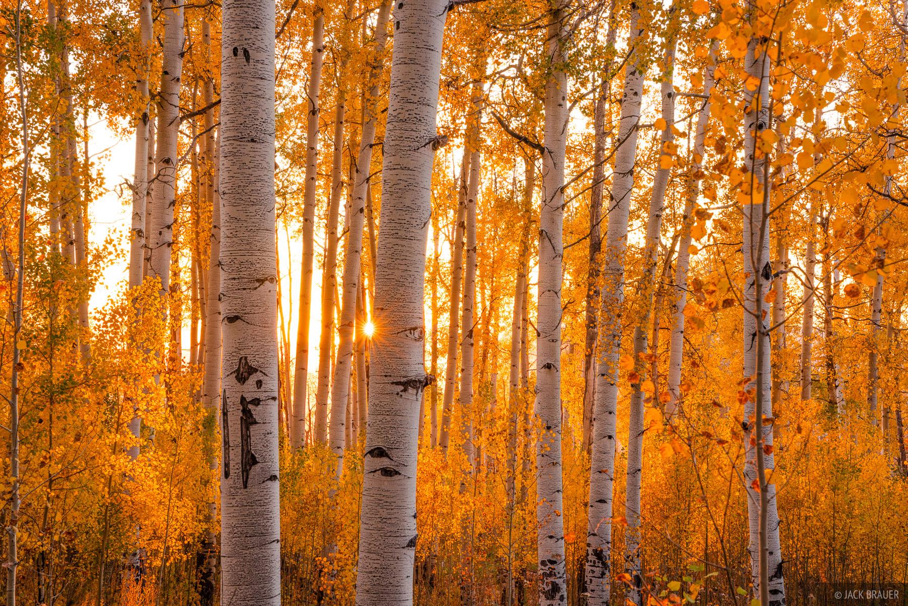 Sunset light illuminates autumn aspens.