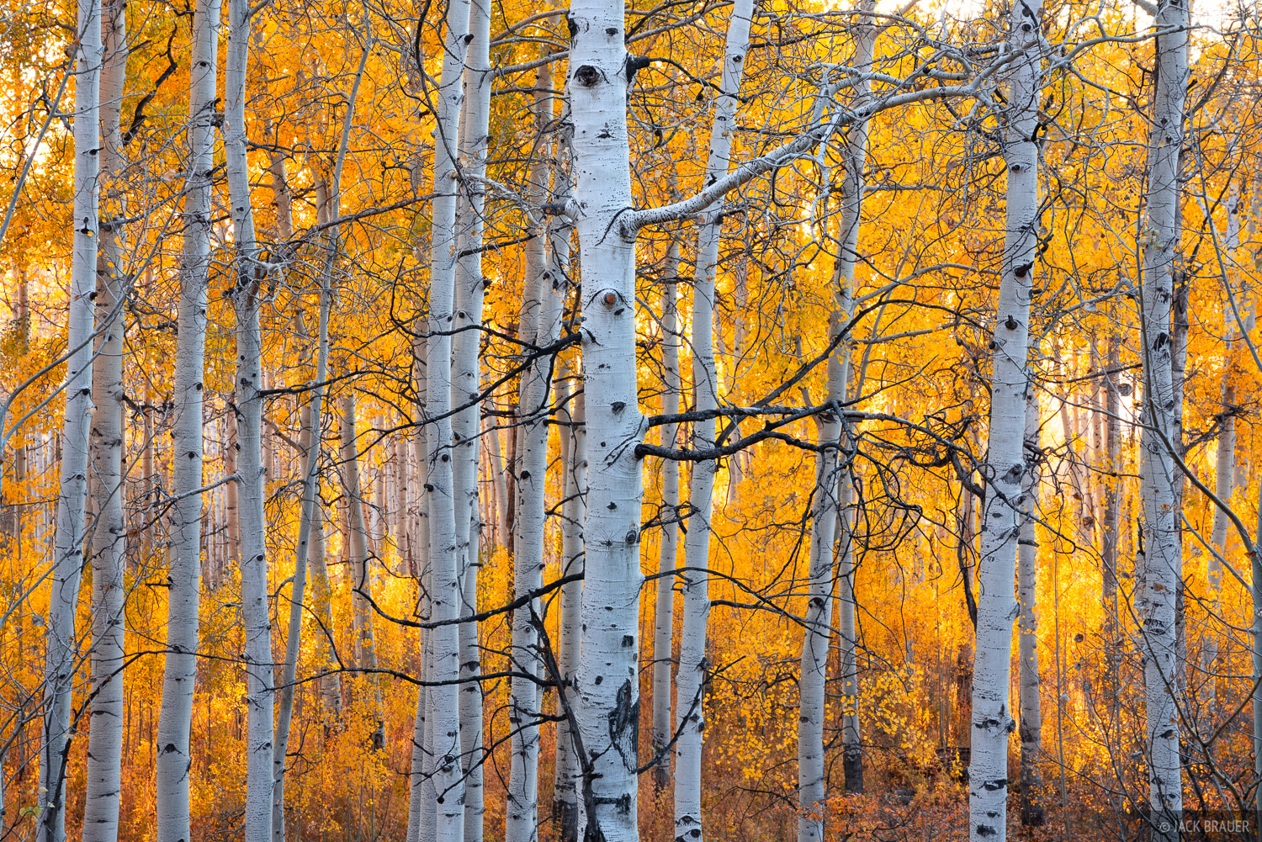 Backlit aspens in the Cimarron Range near Ridgway, Colorado.