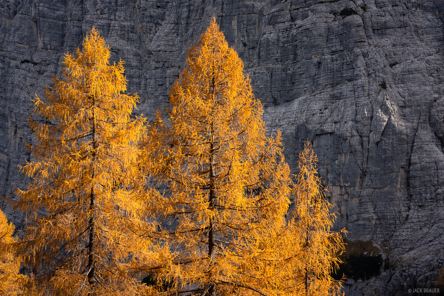 Golden larch trees in the Dolomites.