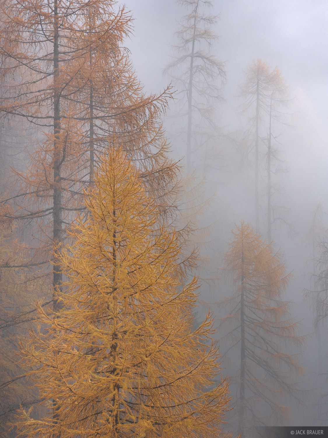 Golden larch trees in fog.