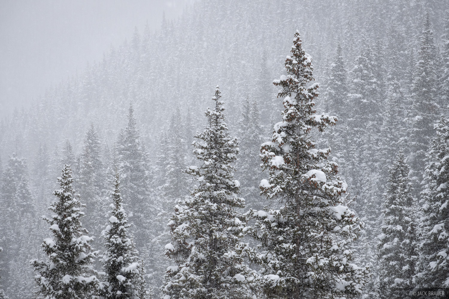 snowy trees, San Juans, Colorado, forest, photo