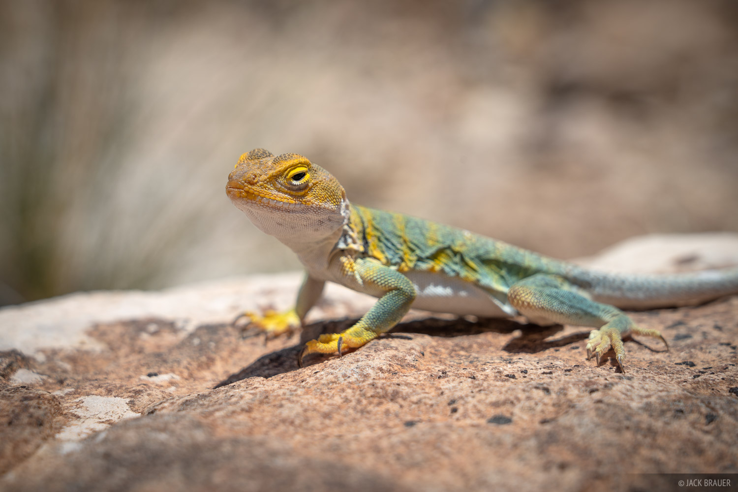Colorado, Gunnison Gorge, Gunnison River, lizard, photo