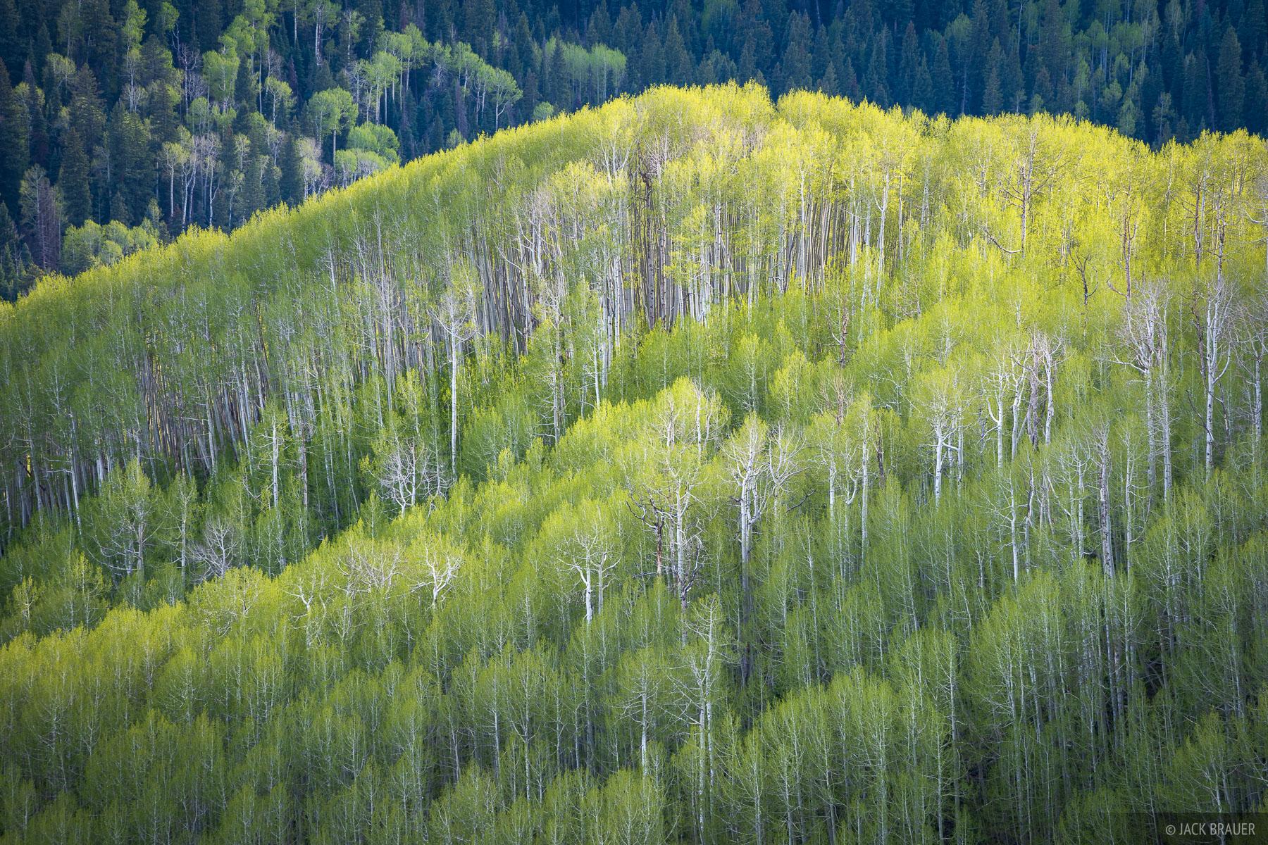 Cimarrons, aspens, Colorado, photo