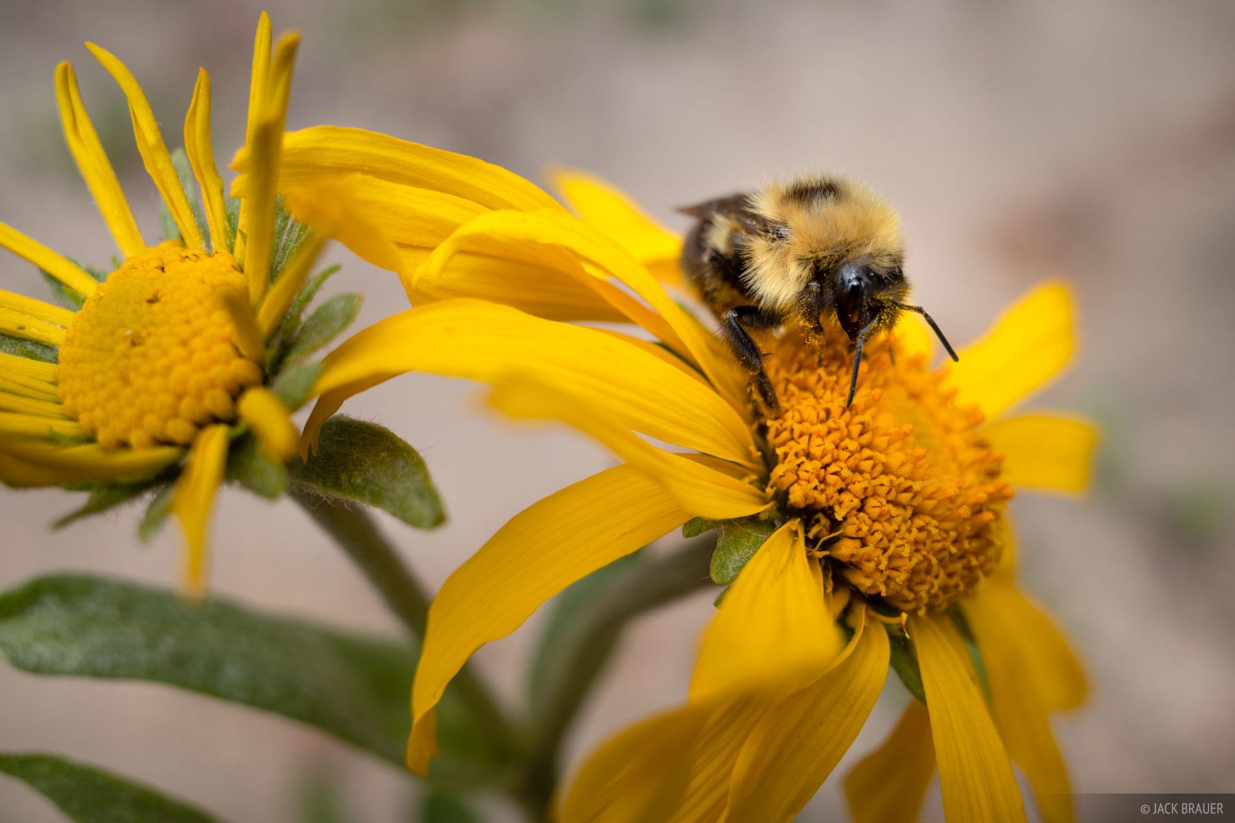 A bumblebee harvests pollen from an alpine wildflower.