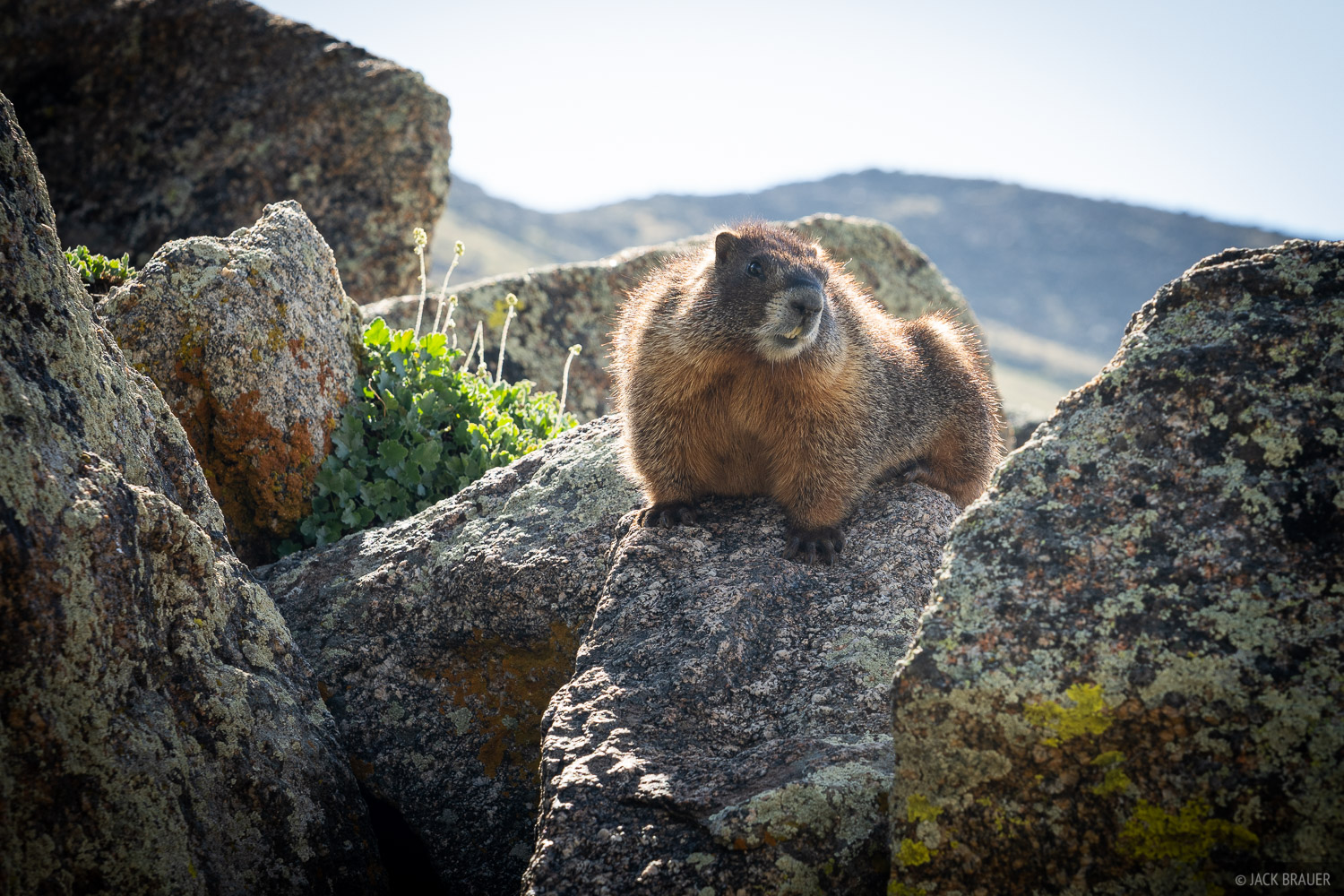 Collegiate Peaks Wilderness, Colorado, Sawatch Range, marmot, photo