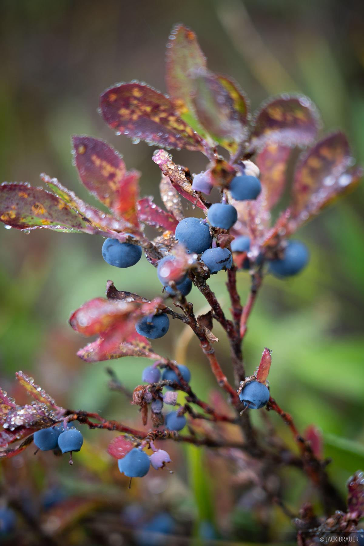 Rain soaked huckleberries in early September.