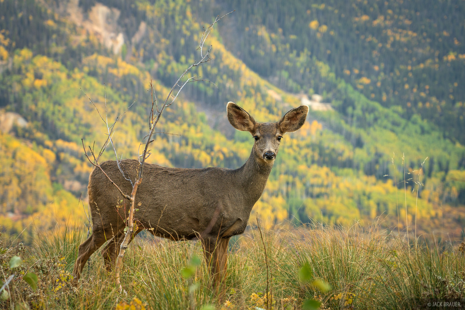 A deer calmly and curiously observes the photographer on an autumn day in the San Juan Mountains.
