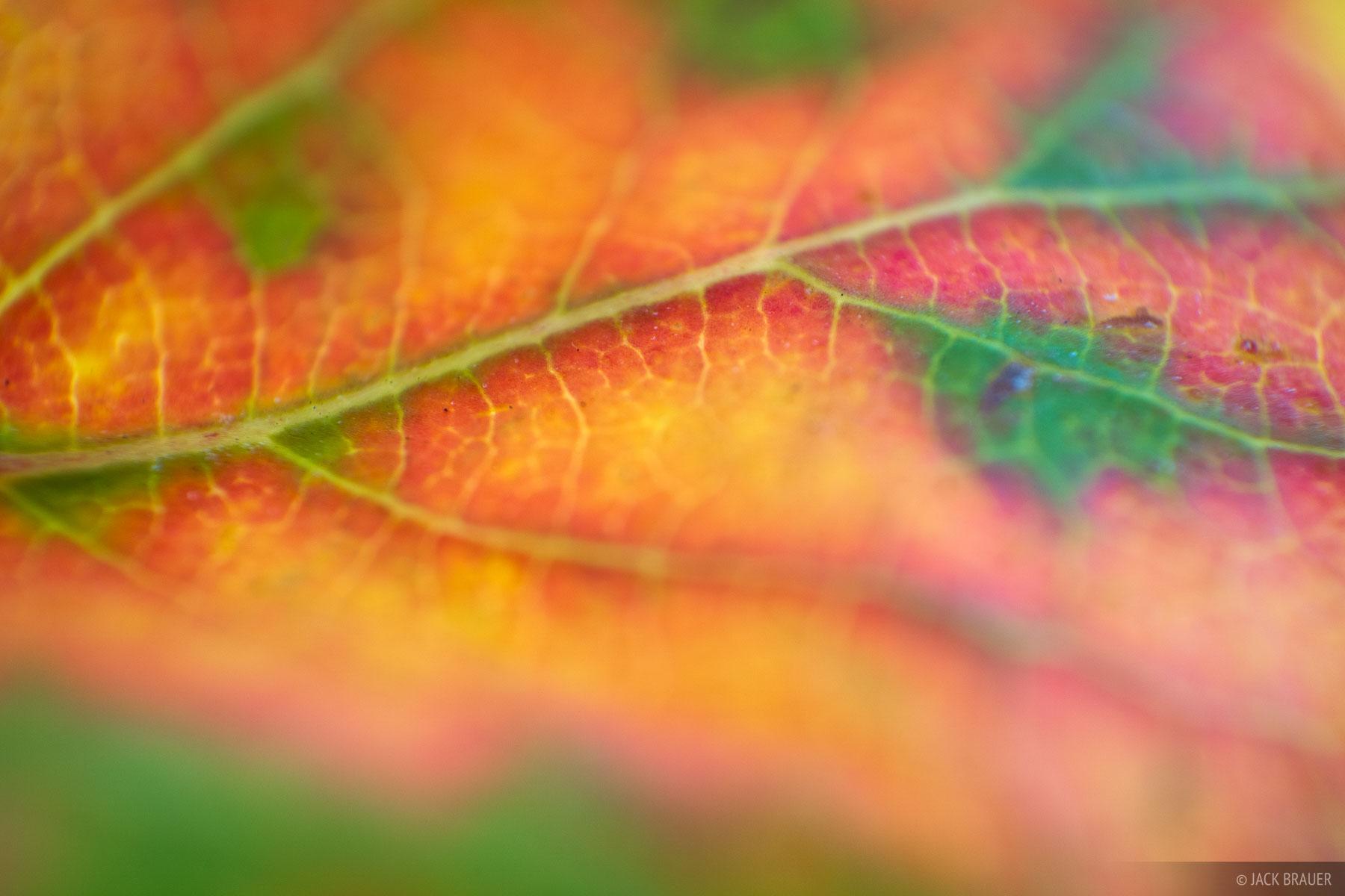 Cimarrons, Colorado, San Juan Mountains, aspens, macro, autumn, fall, photo