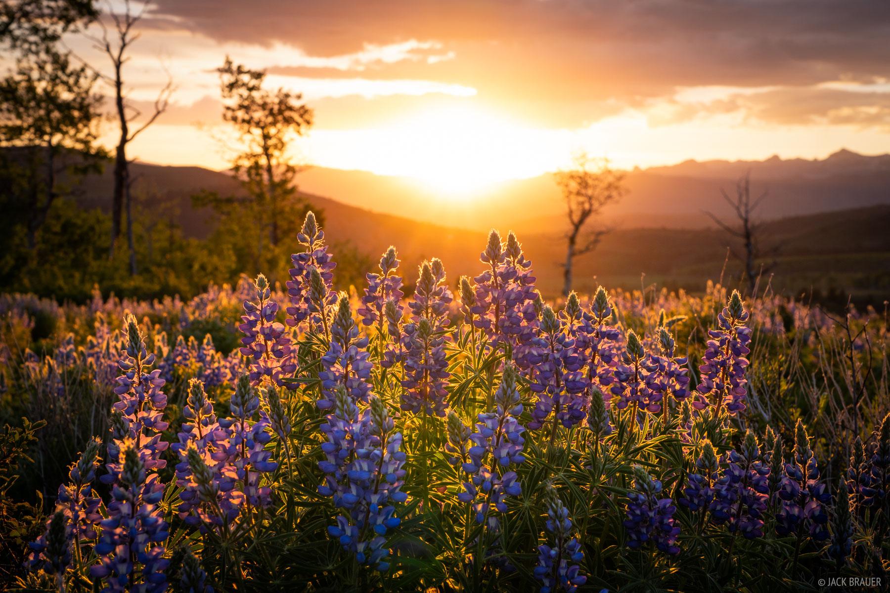 Sunrise light shines through lupine wildflowers.