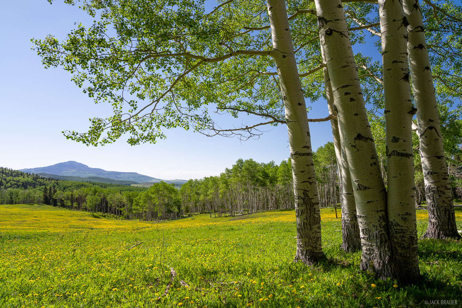Aspens provide a pleasant shady place to sit next to a dandelion-filled meadow on a warm spring day.