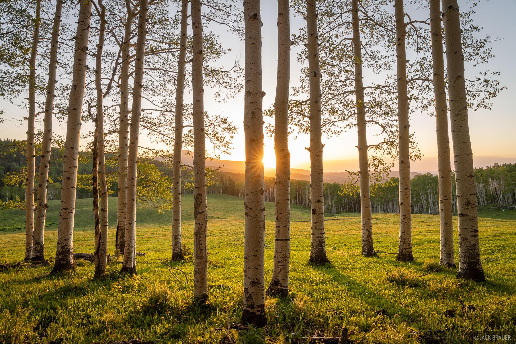 Sunset light filters through aspens in the San Miguel Range near Telluride, Colorado.