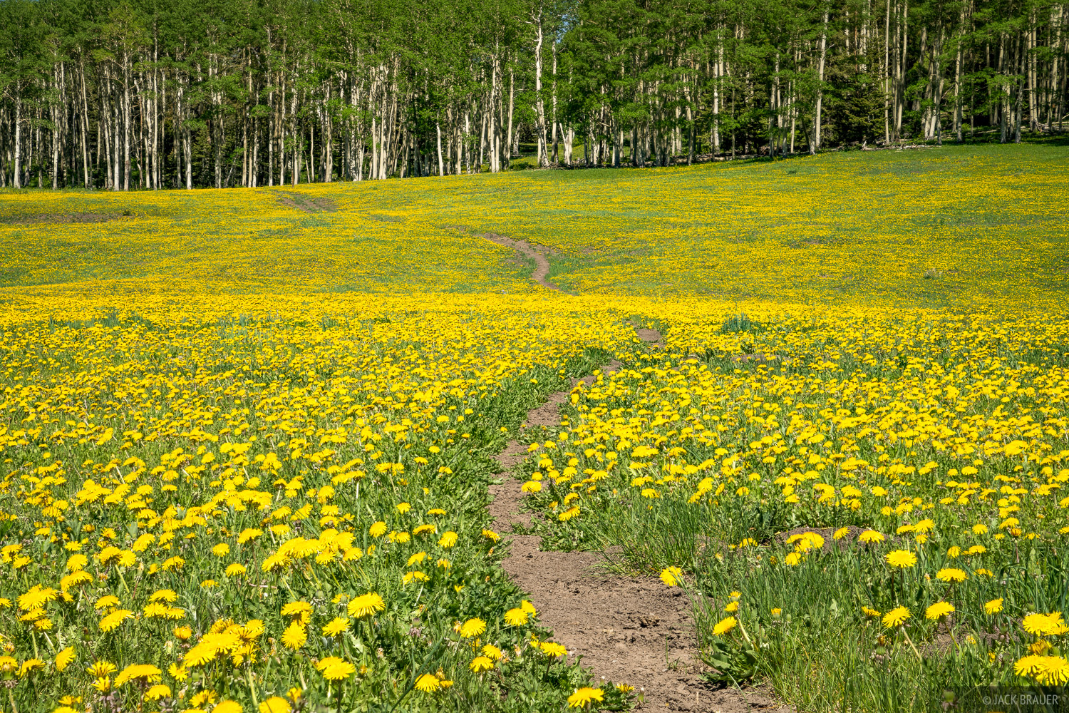 A trail winds through a meadow full of dandelions.
