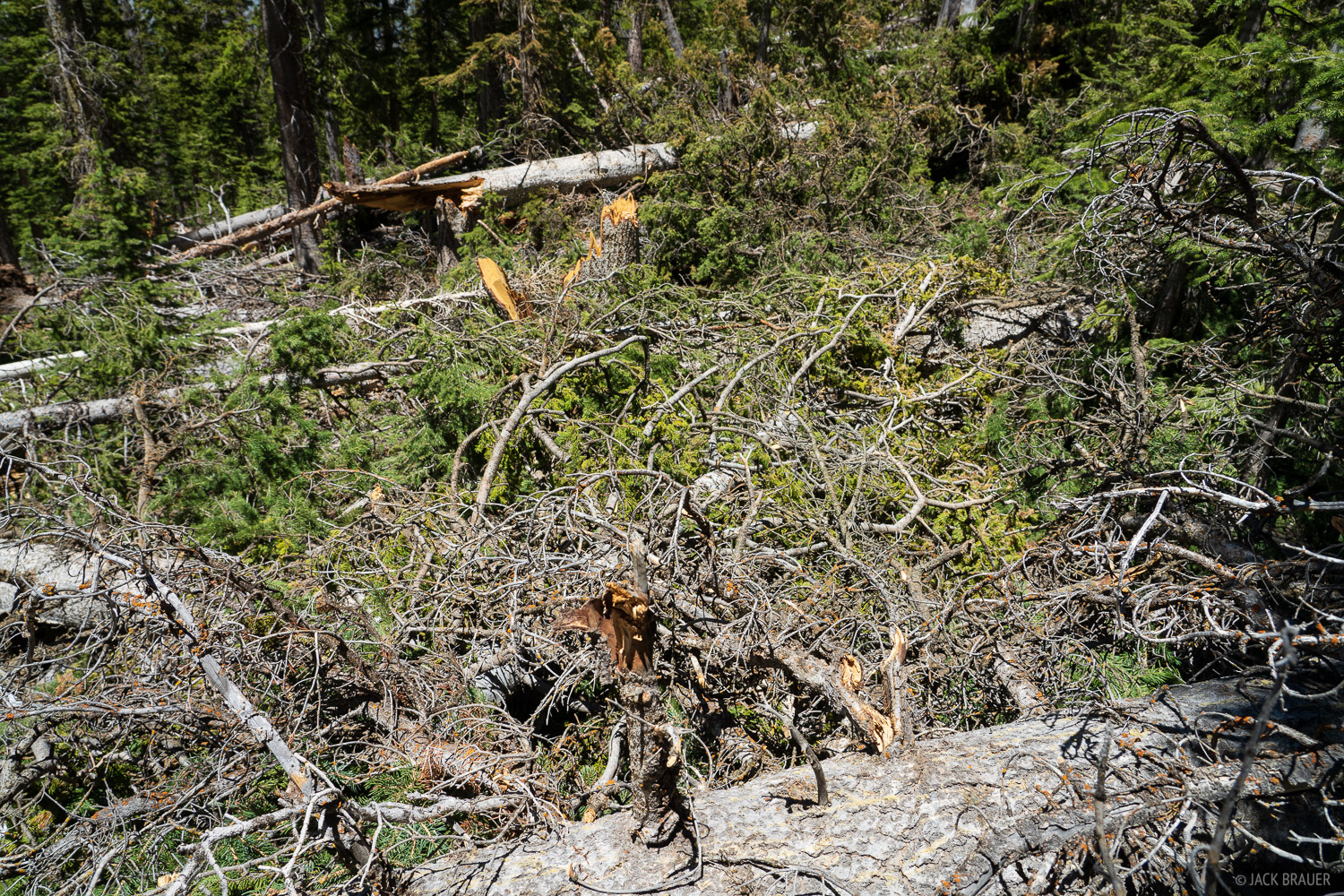 Nightmarish deadfall smothers the abandoned Lone Cone Trail. Yes, there was a trail in there somewhere.