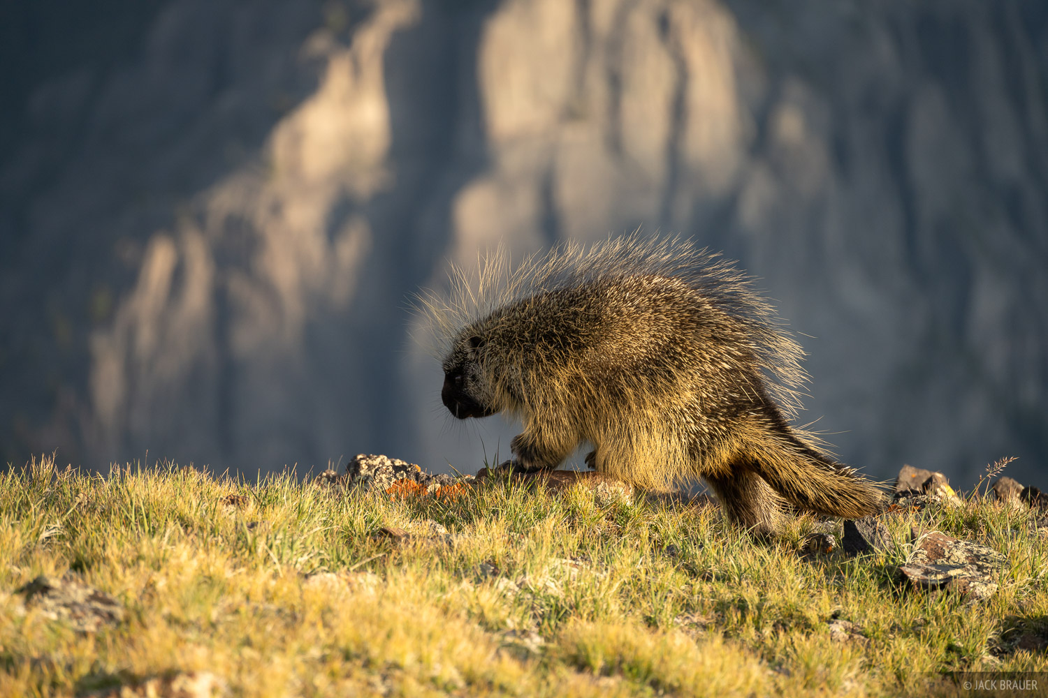 A porcupine wanders over the alpine tundra at 12,000 feet elevation.